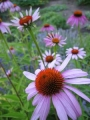 1122654_purple_coneflower.jpg